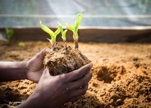 mgb150324_agriculture_site_banana_nursery_kk0013_hi