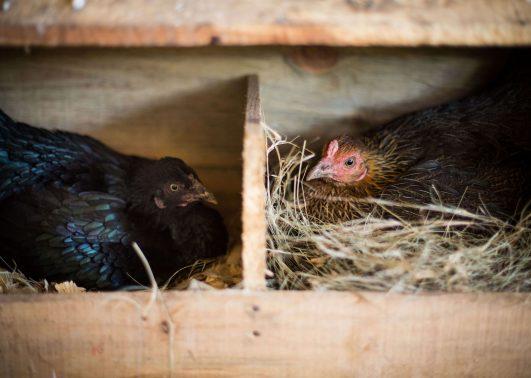 mgb150324_agriculture_site_chickens_kk0008_hi